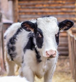 Jovem bezerro manchado de preto e branco em uma perseguição ao ar livre. vaca olha para a câmera
