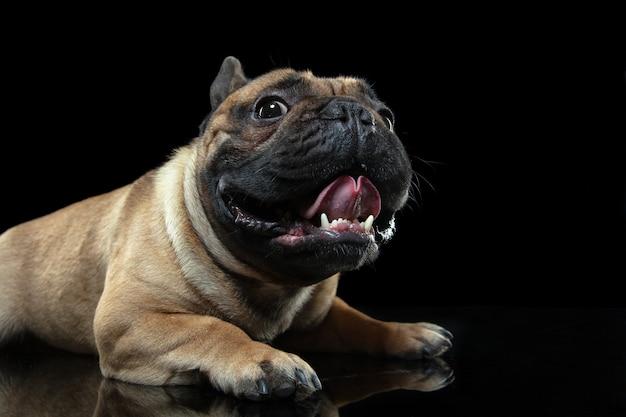 Jovem bulldog francês está posando isolado na parede preta.