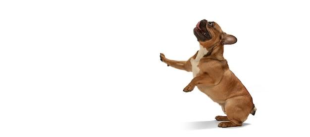 Jovem bulldog francês marrom brincando isolado na parede branca do estúdio