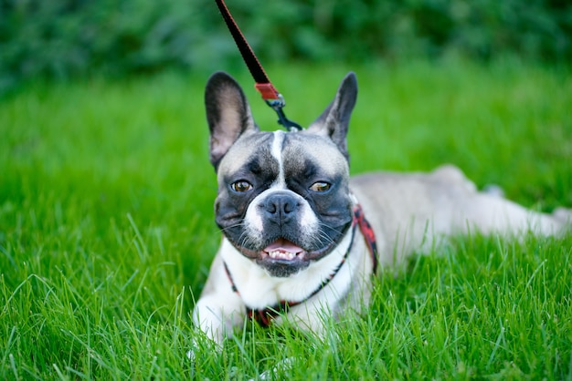 Jovem bulldog francês sentado na grama