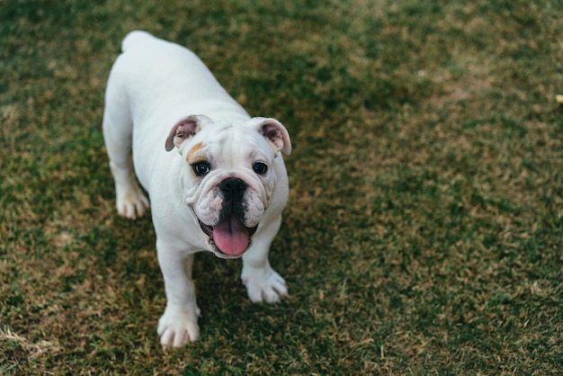Jovem bulldog inglês no jardim