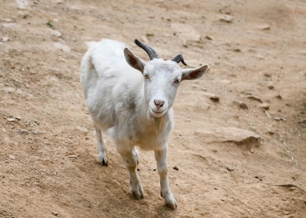 Jovem cabra branca com chifres está olhando
