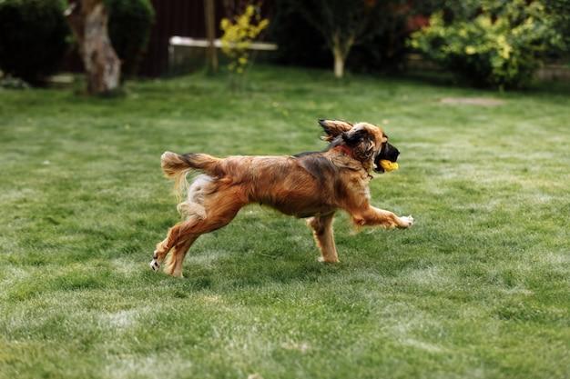 Jovem cachorro brincalhão e esportivo correndo no campo do parque de verão com um brinquedo na boca
