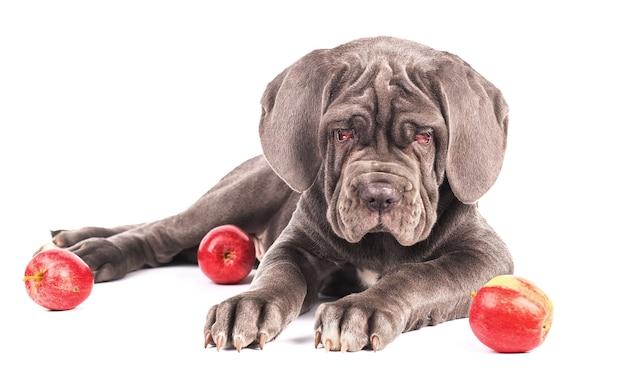 Jovem cachorro mastim italiano cana-de-corso e maçãs vermelhas em fundo branco.