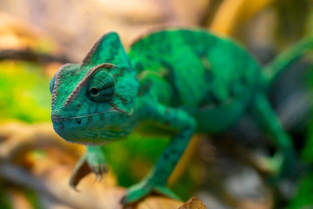 Jovem camaleão verde em um galho. animal de estimação fofo. coloração protetora do animal.