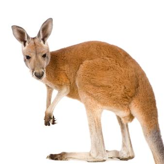 Jovem canguru vermelho (9 meses) - macropus rufus isolado