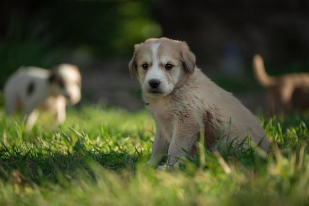 Jovem cão de retrato brincando no prado. cachorrinho do cão pastor caucasiano