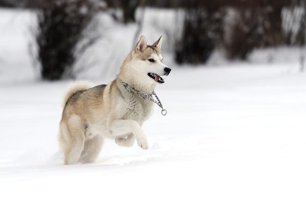 Jovem cão husky siberiano na neve
