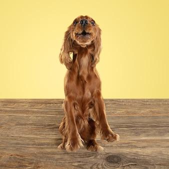 Jovem cão inglês cocker spaniel está posando. cachorrinho marrom brincalhão bonito ou animal de estimação brincando no piso de madeira, isolado na parede amarela. conceito de movimento, ação, movimento, amor de animais de estimação. parece feliz.