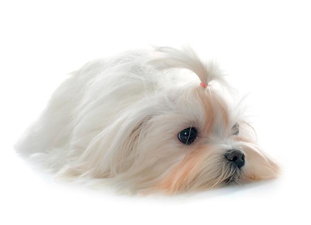 Jovem cão maltês