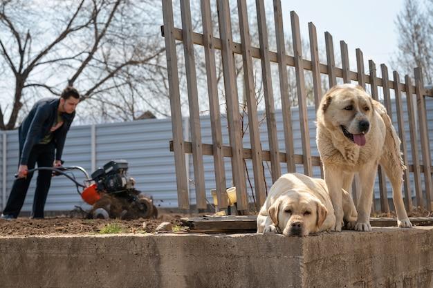 Jovem cava o terreno do jardim com um motorcultivatort dois cachorros esperando ao lado de uma cerca