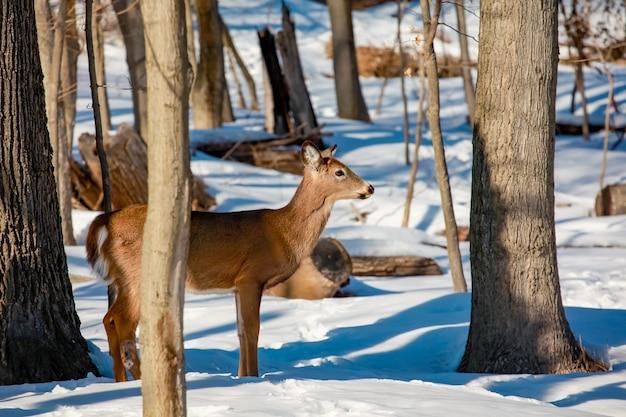 Jovem cervo de cauda branca à beira da floresta na paisagem selvagem de inverno
