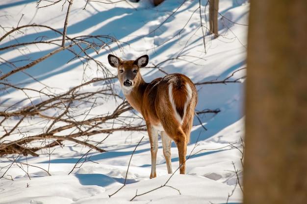 Jovem cervo de cauda branca à beira de um bosque de neve na paisagem selvagem de inverno