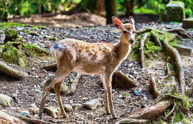 Jovem cervo sika no parque de nara - japão