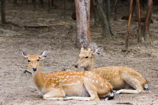 Jovem, cervos whitetail, macho fêmea, sentando, junto, em, a, público, parque
