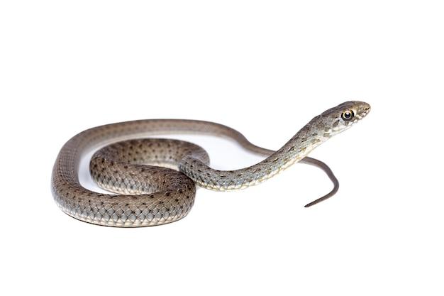 Jovem cobra de montpellier em fundo branco