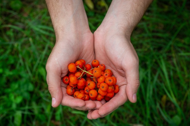 Jovem com um ashberry nas mãos, as mãos do homem com um monte de bagas maduras de mountain ash em close up do outono.