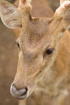 Jovem corça buck / capreolus capreolus / em pé no prado e assistindo