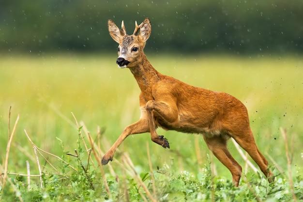 Jovem corça buck com pequenos chifres capturados em ação de correr em alta velocidade
