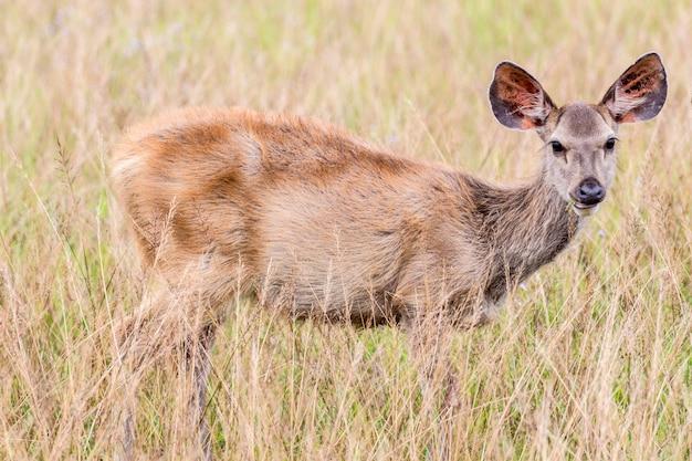 Jovem corça dos cervos que está na grama alta.