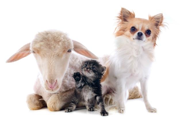 Jovem cordeiro, gatinho e chihuahua