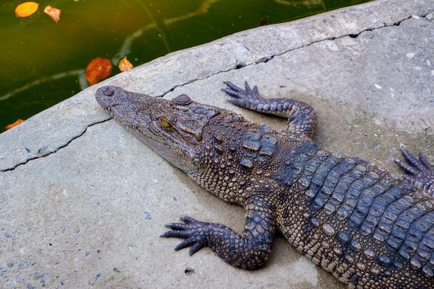 Jovem crocodilo descansar no chão