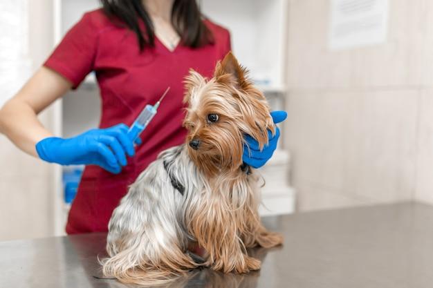 Jovem e bela mulher veterinária vacinando o yorkshire terrier.
