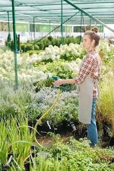 Jovem e bonita jardineira em trajes de trabalho, regando plantas verdes e mudas que crescem em estufas, em pé contra grandes canteiros de flores