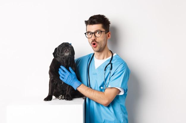 Jovem e bonito médico veterinário coçando um lindo pug preto, acariciando um cachorro e esfregando o corpo sobre um fundo branco