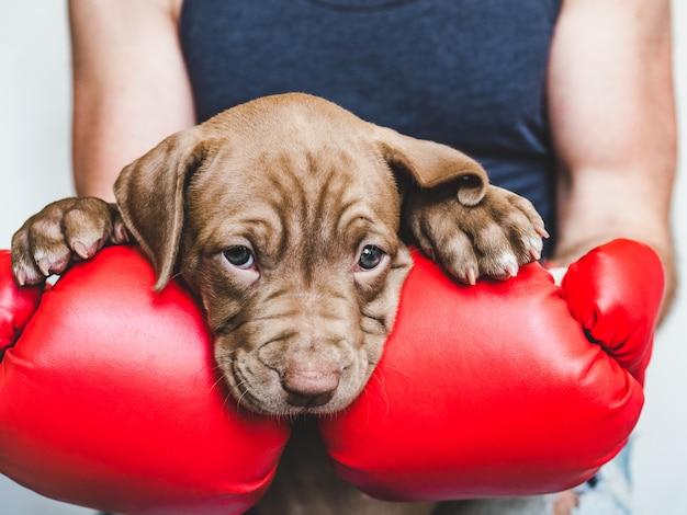 Jovem, encantador cachorrinho e luvas de boxe vermelhas