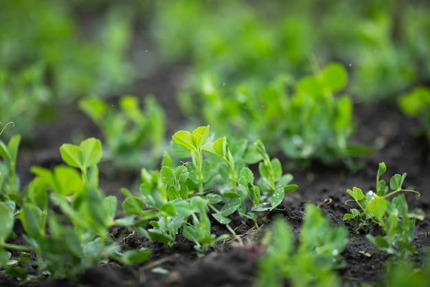 Jovem ervilha verde brota no campo agrícola