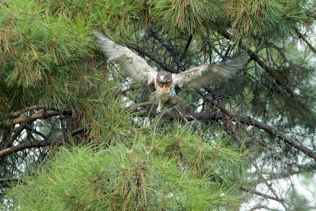Jovem fêmea de águia-cobreira em um pinheiro com os primeiros raios de um dia ensolarado
