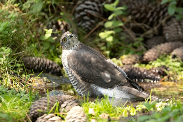 Jovem fêmea de gavião-pardal eurasiático em um ponto de água no verão em uma floresta de pinheiros