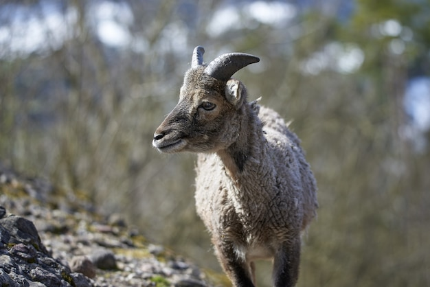 Jovem fêmea mouflon