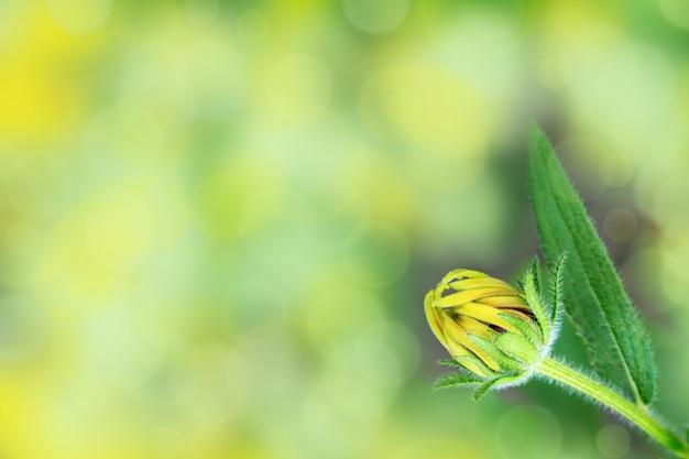 Jovem flor não queimada. botão fechado no fundo desfocado brilhante. foco seletivo. copie o espaço.