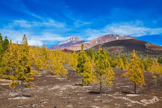 Jovem floresta de pinheiros em rochas de lava no parque nacional de teide, em tenerife
