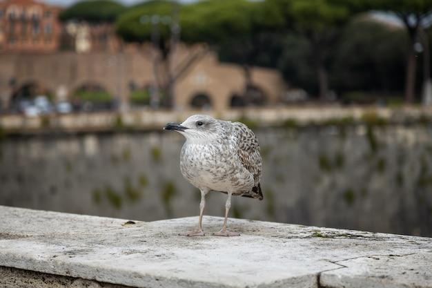 Jovem gaivota-arenosa europeia sentada no parapeito de uma ponte roma itália