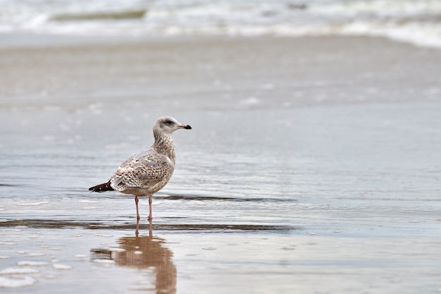 Jovem gaivota de patas amarelas, larus michahellis, caminhando na praia perto do mar báltico