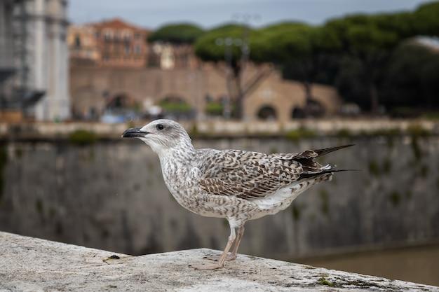 Jovem gaivota sentada no parapeito de uma ponte sobre o tibre roma itália