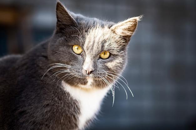 Jovem gato cinzento britânico caminha no quintal
