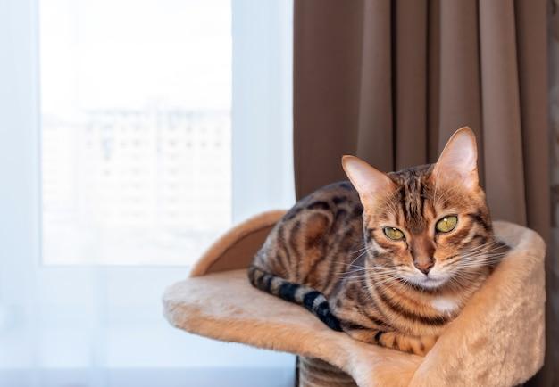 Jovem gato-de-bengala está descansando em sua cesta perto da janela do quarto