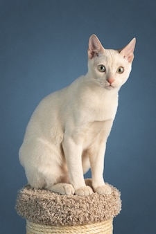 Jovem gato de raça pura tonkinese, de cor de vison castanho, sentado em um poste para arranhar
