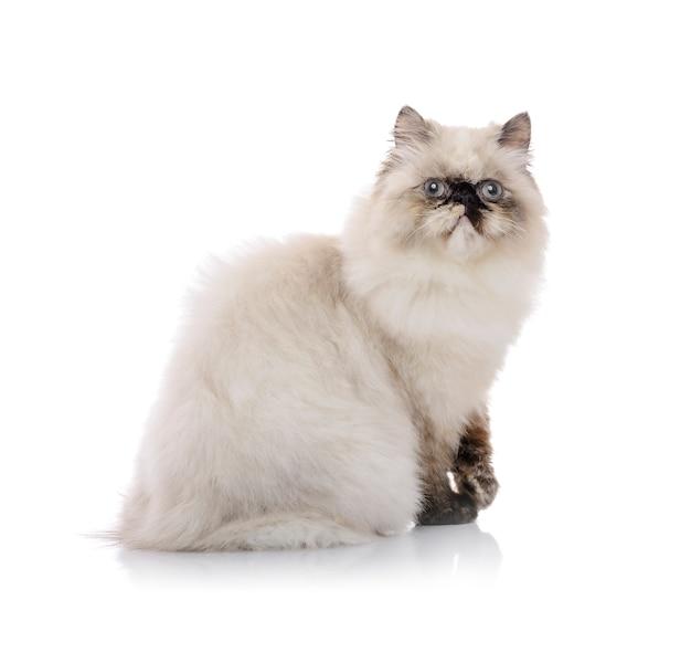 Jovem gato do himalaia posando para foto