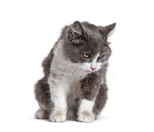 Jovem gato mestiço sentado, branco e cinza olhando para baixo