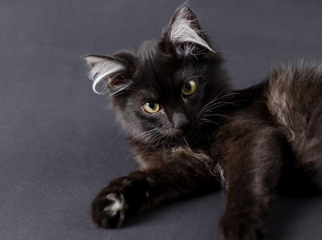 Jovem gato preto encantador