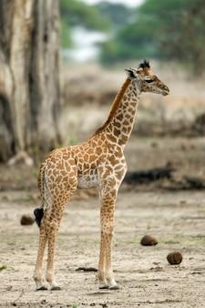 Jovem girafa no serengeti, tanzânia, áfrica