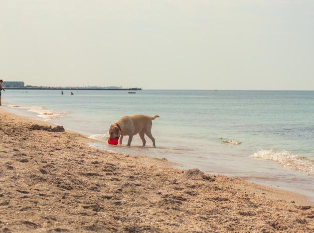 Jovem golden retriever animado pulando e correndo na praia