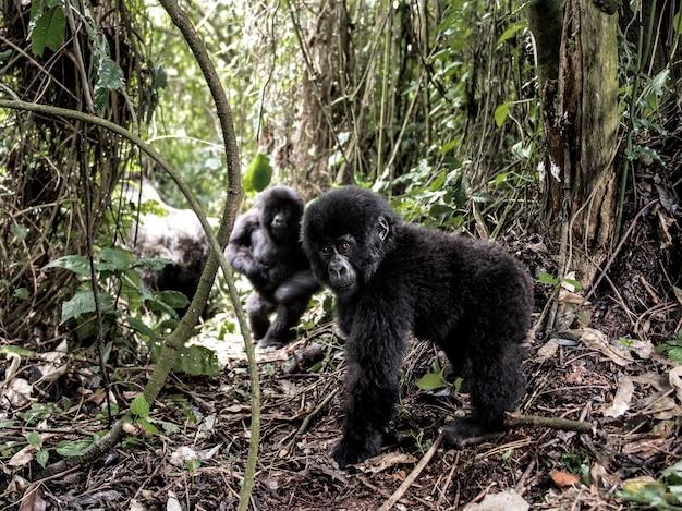 Jovem gorila da montanha no parque nacional de virunga, áfrica, rdc, áfrica central.