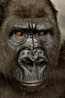 Jovem gorila de silverback em branco