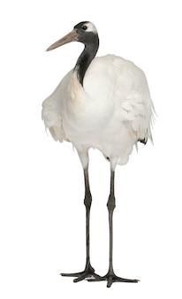Jovem grus japonensis de coroa-vermelha isolado